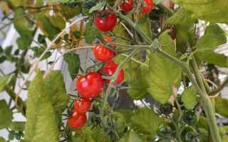 Помидоры на балконе: пошаговая инструкция как выращивать