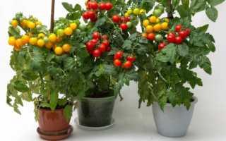 Как выращивать помидоры на балконе